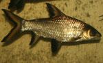 Купить Акулий Балу (Bala Shark)