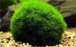Купить аквариумные растения