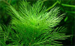 Купить перестолистник зелёный